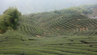 Famous tea orchard in Zhushan